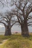 De Bomen van de Bainesbaobab bij zonsondergang stock foto