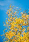 De bomen van de berk in de Herfst Royalty-vrije Stock Fotografie