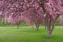 De Bomen van Crabapple Stock Foto's