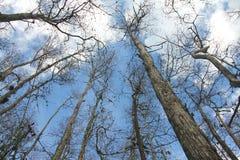 De Bomen van Cyprus van de winter Stock Afbeeldingen