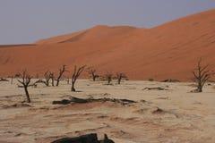 De bomen van de acacia Royalty-vrije Stock Afbeeldingen