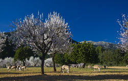 De bomen van de amandel in bloei Royalty-vrije Stock Afbeeldingen
