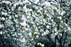 De bomen van de appel Royalty-vrije Stock Afbeeldingen