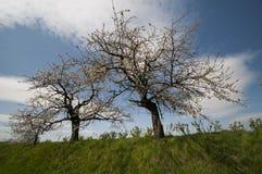 De bomen van de appel in de lente Royalty-vrije Stock Afbeeldingen