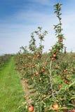 De bomen van de appel die met appelen in een boomgaard worden geladen stock foto
