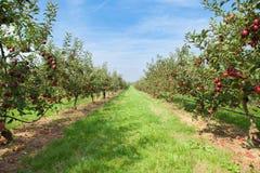 De bomen van de appel die met appelen in een boomgaard worden geladen Royalty-vrije Stock Foto's