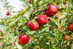De bomen van de appel die met appelen in een boomgaard worden geladen royalty-vrije stock fotografie
