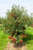 De bomen van de appel die met appelen in een boomgaard worden geladen stock fotografie