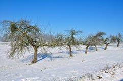 De bomen van de appel in sneeuw Royalty-vrije Stock Fotografie