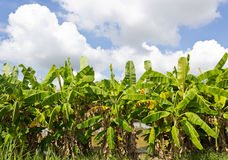 De Bomen van de banaan Royalty-vrije Stock Afbeelding