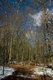 De bomen van de berk Stock Foto's