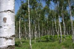 De bomen van de berk stock afbeeldingen