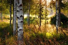 De bomen van de berk Royalty-vrije Stock Foto's
