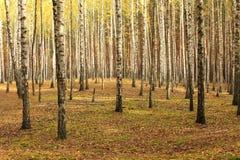 De bomen van de berk stock fotografie