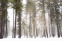 De bomen van de berk stock foto