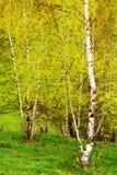 De bomen van de berk in bos Stock Afbeelding