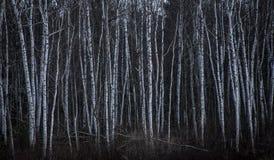 De bomen van de berk in de winter stock afbeelding