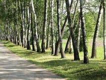 De bomen van de berk in de zomerdag Stock Foto