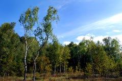De bomen van de berk en leggen vast Stock Foto's