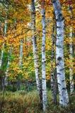 De bomen van de berk in het seizoen van de Herfst Stock Afbeelding