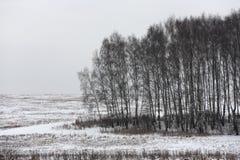 De bomen van de berk op een donkere dag Stock Afbeeldingen