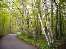 De bomen van de berk op een weg Stock Foto