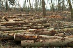 De bomen van de besnoeiing in een bos Royalty-vrije Stock Foto's