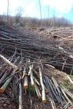 De bomen van de besnoeiing in een bos Royalty-vrije Stock Fotografie