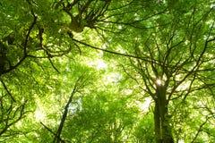De bomen van de beuk