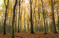De bomen van de beuk in de herfst royalty-vrije stock afbeelding