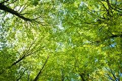 De bomen van de beuk omhoog de hemel Stock Foto's