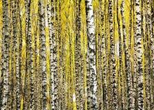De bomen van de boomstammenberk in de herfst Stock Afbeeldingen