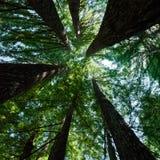 De Bomen van de Californische sequoia Stock Fotografie