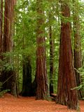 De bomen van de Californische sequoia Stock Fotografie