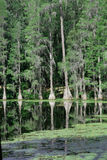 De bomen van de cipres bij suwannee stock fotografie
