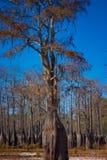 De bomen van de cipres in droog meer   Royalty-vrije Stock Afbeelding