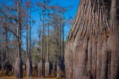 De bomen van de cipres in droogte Stock Afbeeldingen