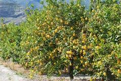 De bomen van de citroen Stock Foto