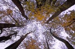 De bomen van de Daling van de herfst met levendige kleuren en blauwe hemel Stock Fotografie