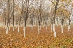 De bomen van de de herfstesdoorn Stock Afbeeldingen
