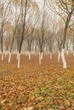 De bomen van de de herfstesdoorn Stock Fotografie