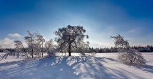 De bomen van de de schaduwberk van de de wintersneeuw backlight, Hoge Moerassen, België Stock Fotografie