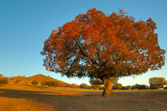 De Bomen van de esdoorn Stock Foto's