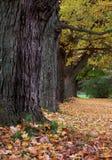 De bomen van de esdoorn. Stock Fotografie