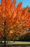 De bomen van de esdoorn Stock Afbeeldingen