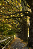 De Bomen van de esdoorn in de Herfst Royalty-vrije Stock Afbeeldingen