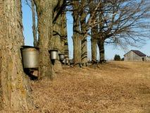 De bomen van de esdoorn met emmers Stock Foto
