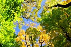 De Bomen van de Esdoorn van de herfst Stock Fotografie
