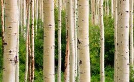 De Bomen van de esp Royalty-vrije Stock Foto