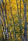 De bomen van de esp in de herfst Stock Foto